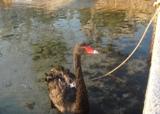 Черный лебедь - достопримечательность Порто Рафти