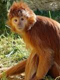 Зоопарк Аттика. Янгур с острова Ява
